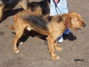 Български барак (Българско твърдокосместо ловно куче)