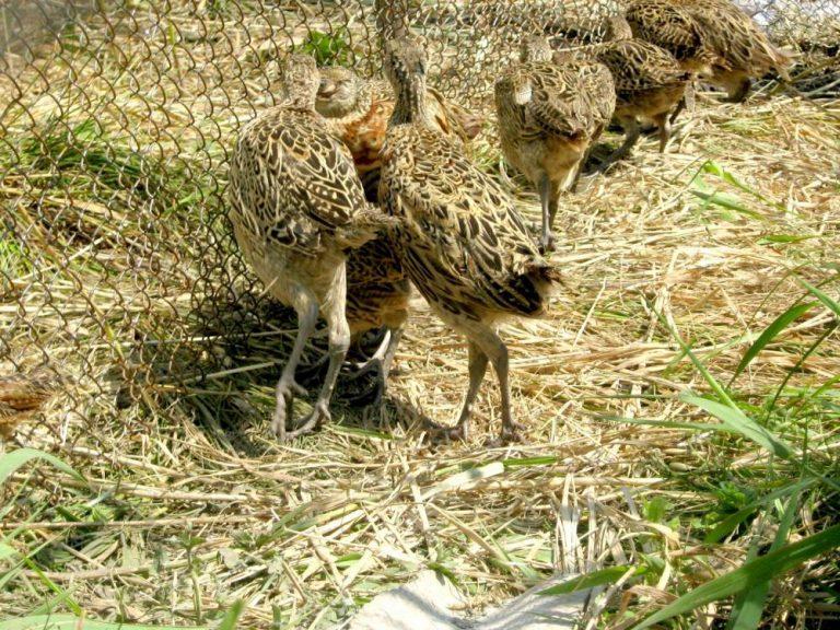 ЛРС-Омуртаг обогати ловния си район със 150 фазана