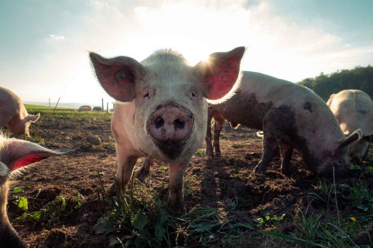 Африканска чума при свинете