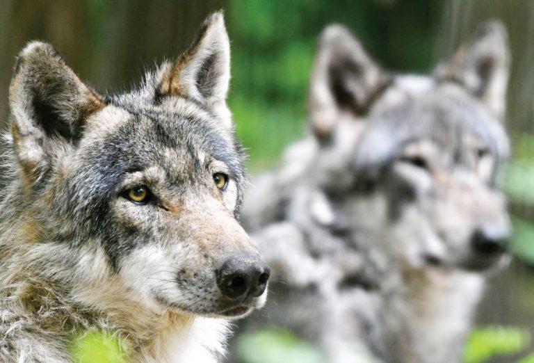 Южна Франция – Вълци избягаха от парк след жестоки наводнения