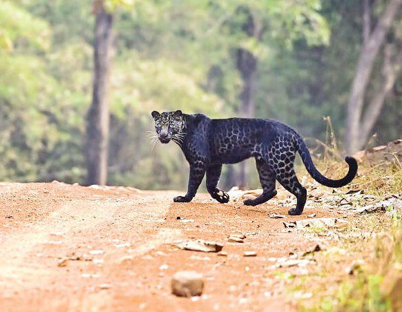 заснеха черен леопард