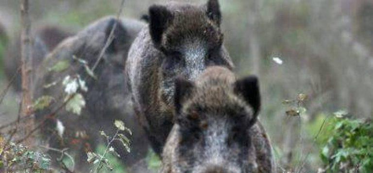 От началото на сезона – При 3240 проби 23 са случаите на АЧС при диви свине