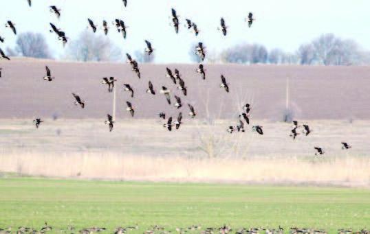 преброяване гъски