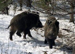 чума диви свине