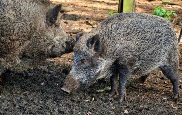 турция диви свине
