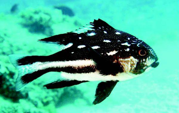 рибидълголетници