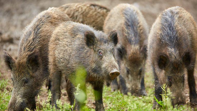 мониторинг свине