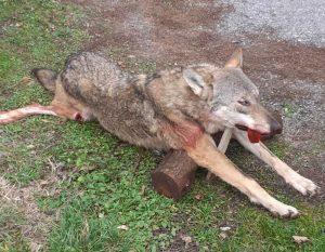 въглевци лов