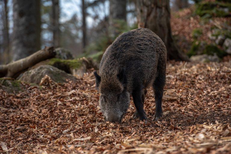 групов лов Дива свиня