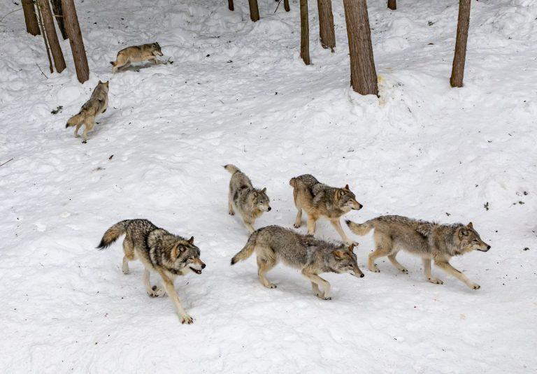 вълци - зима