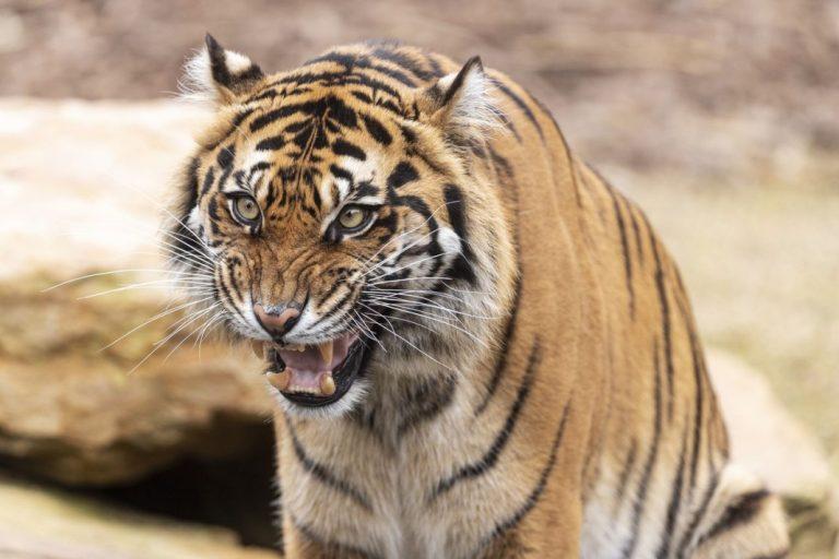 тигри зоопарк