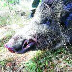дупница диви свине