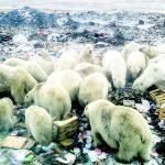 полярните мечки