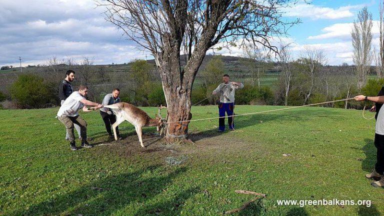 Студенти помогнаха в спасяването на елен лопатар