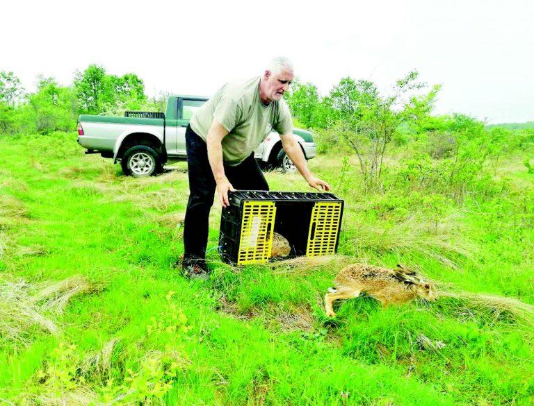 40 диви заека разселват за опресняване на кръвта в ЛРС-Пещера