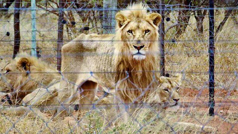 """Руската ловна федерация: """"НЕ!"""" на отстрела на лъвове отгледани в плен"""