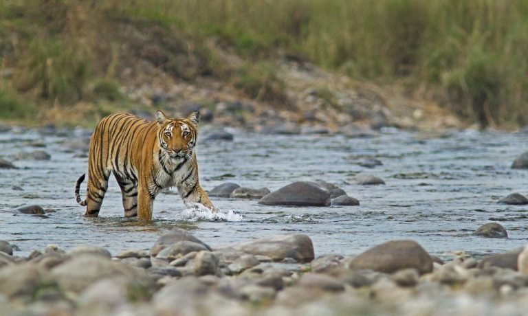 бангладеш тигри