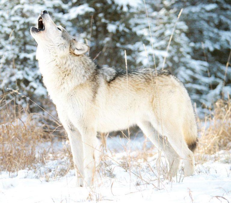 минесота вълци