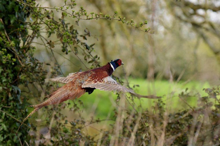 1400 фазана белоградчик