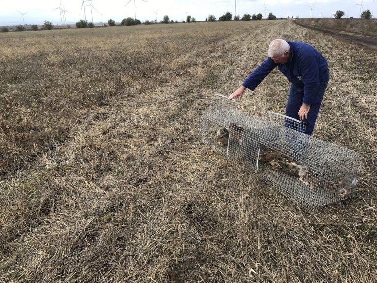 В ЛРС-Варна разселиха диви зайци собствено производство