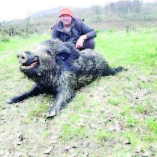 златарица дива свиня